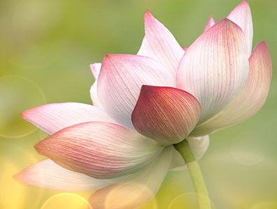 Moudrost lotosového květu